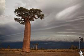 I Baobab dell'ovest
